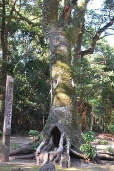 宮崎市15 江田神社 参道脇の神木2.jpg
